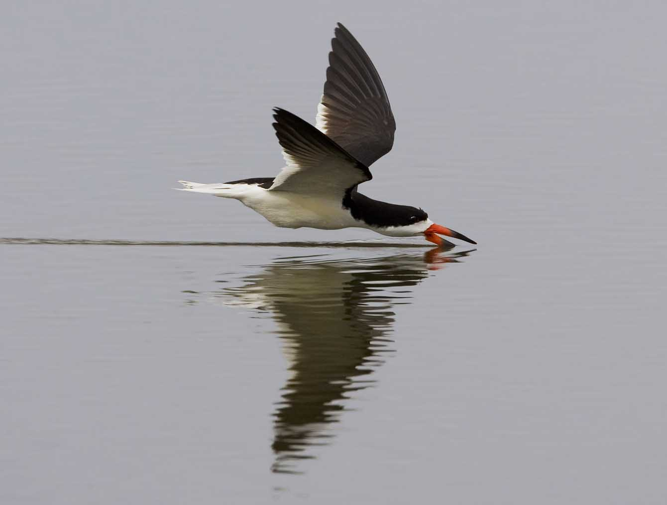 Black Skimmer 0543ds