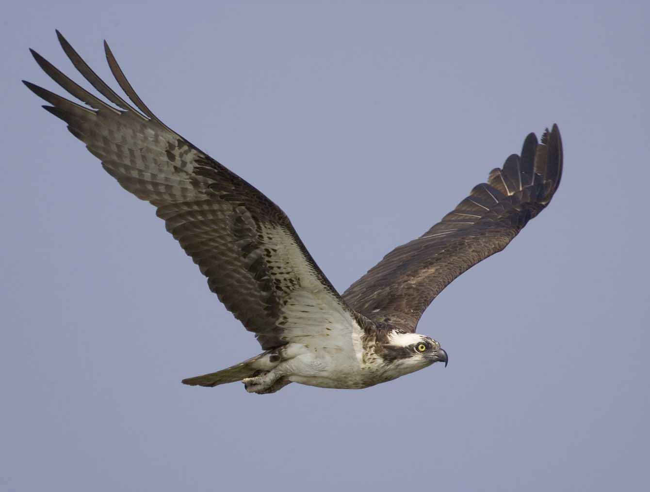 Osprey Flying 3743s